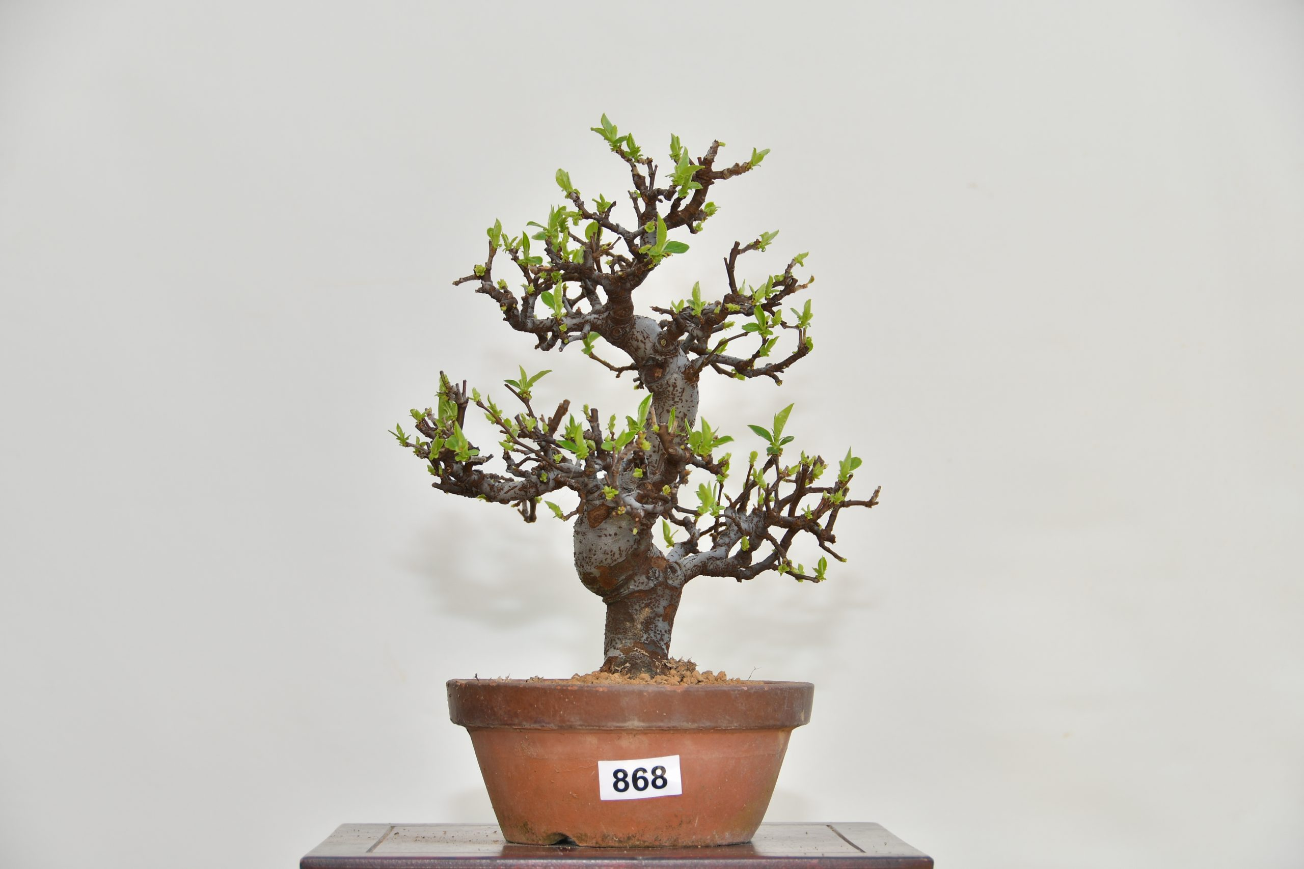 Quitte Bonsai Stube Roth